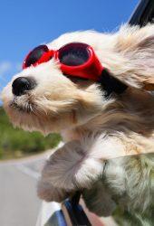 犬の顔のウィンドメガネiPhone8 Plus壁紙