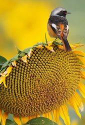 ひまわり鳥の夏iPhone 8壁紙