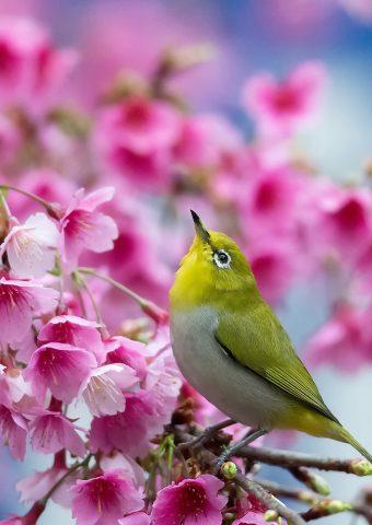 春のさくら支店の花iPhone8壁紙