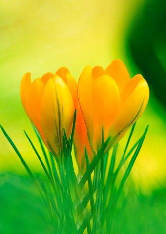 イエローリリーの花春iPhone8自然壁紙