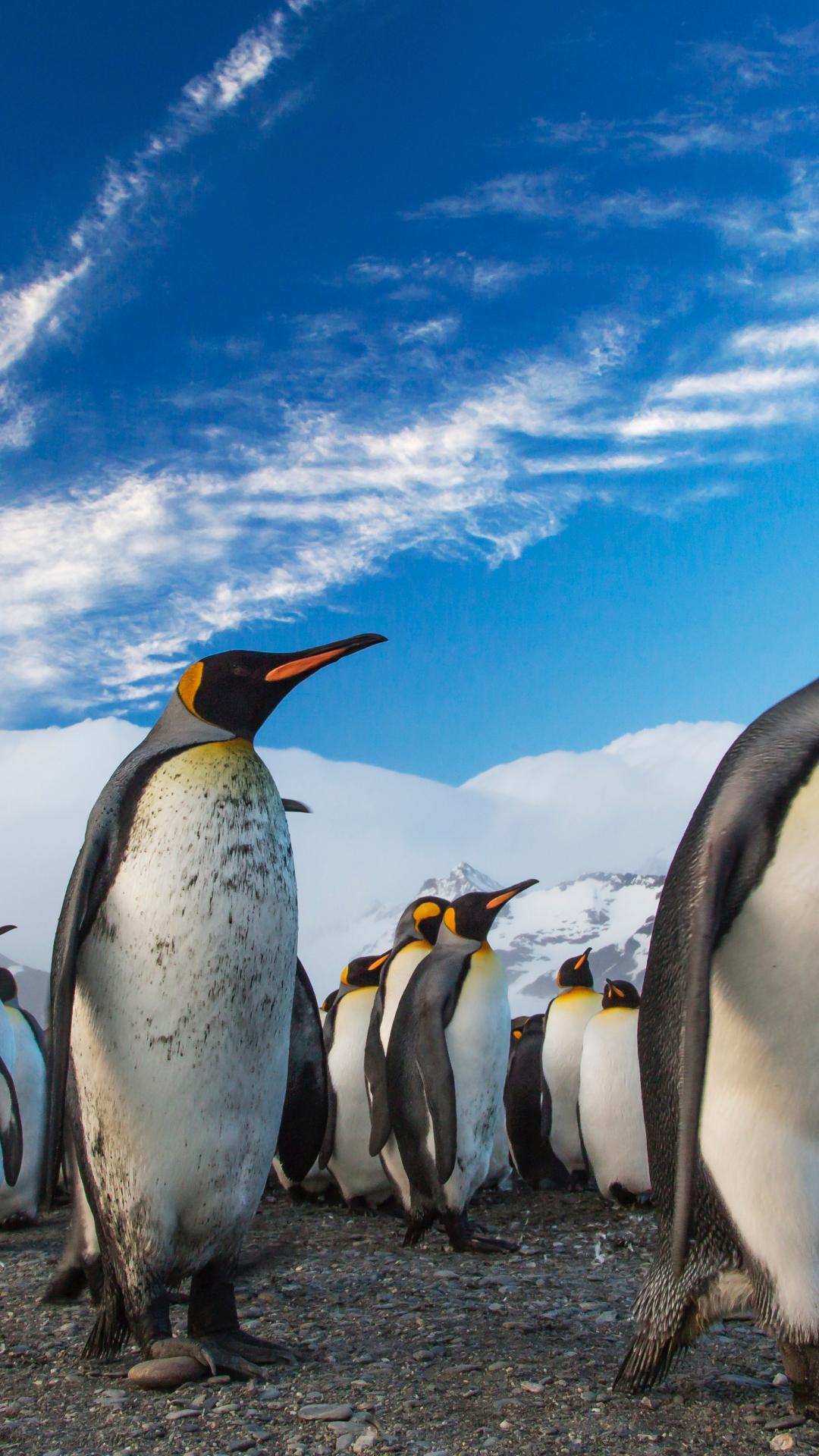 ペンギン王行列iphone 8 Plus动物壁紙 1080 X 1920 Iphoneチーズ