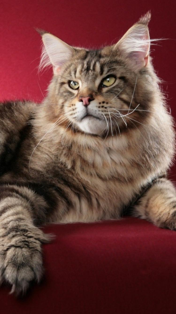 猫メインクーンふわふわiphone 8 7 6动物壁紙 Iphoneチーズ