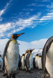 ペンギン王行列iPhone 8 Plus壁紙