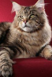 猫メインクーンふわふわiPhone8壁紙