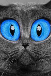 青い目の猫iPhone5壁紙