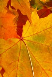 秋の葉iPhone 8 Plus壁紙
