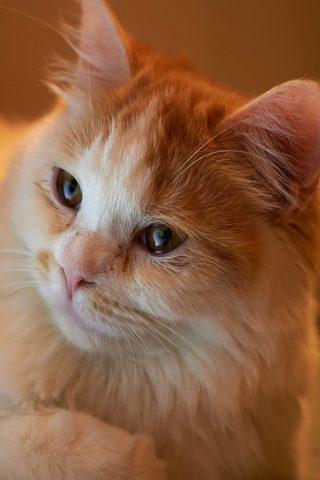 オレンジのふわふわ猫iPhone8Plus壁紙