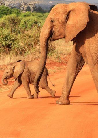 象アフリカの赤ちゃん動物iPhone8壁紙