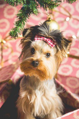かわいい子犬クリスマスプレゼントiPhone6壁紙