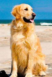 かわいいゴールデンレトリバービーチiPhone8Plus壁紙