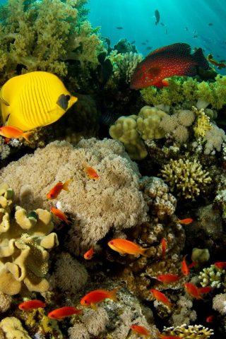 サンゴ礁の魚iPhone 6/Android壁紙