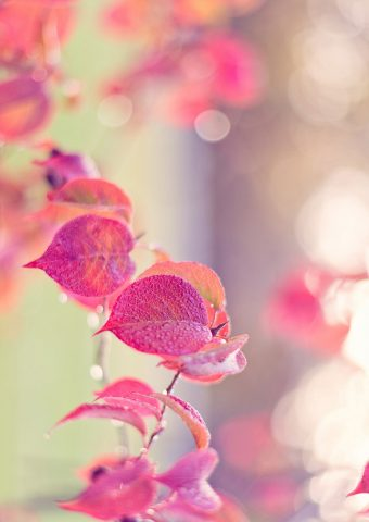 ピンクの葉の水滴秋iPhone 7 Plus/Android壁紙