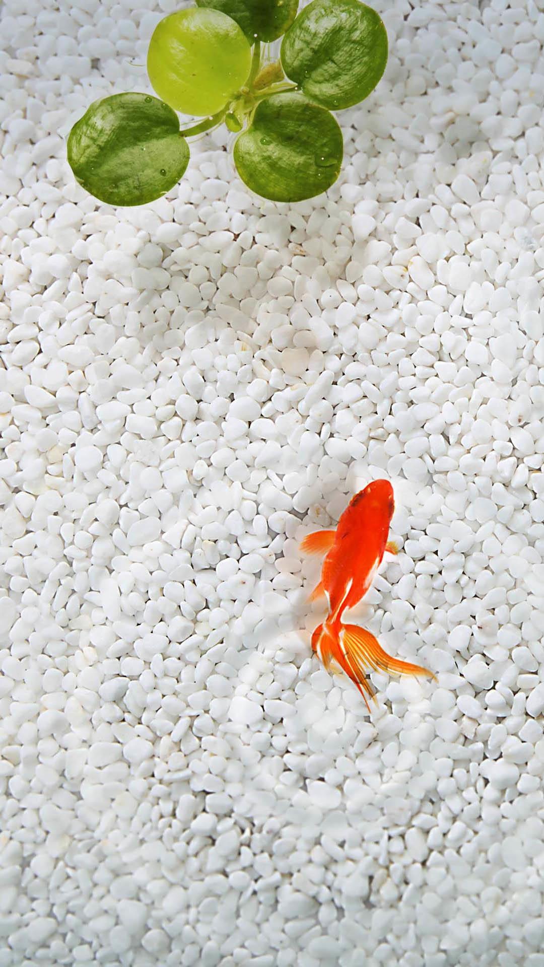 オレンジフィッシュホワイトストーン水族館iphone 8 Plus Android壁紙