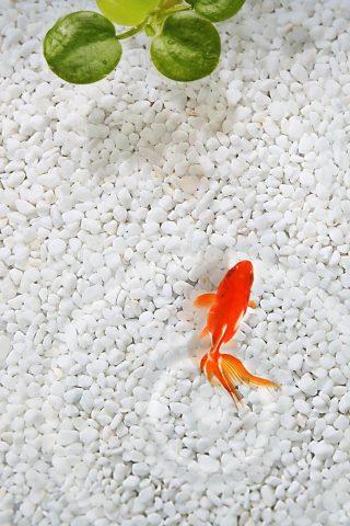 オレンジフィッシュホワイトストーン水族館iPhone 8 Plus/Android壁紙