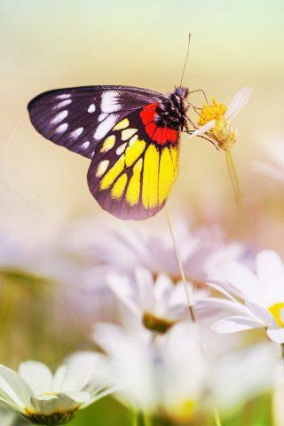 花のクローズアップにカラフルな蝶iPhone 6/Android壁紙