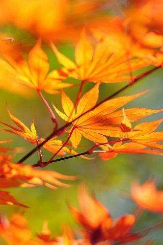 木の枝日本紅葉iPhone 8 Plus/Android壁紙