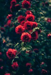 美しい庭の赤いバラの花iPhone 6/Android壁紙