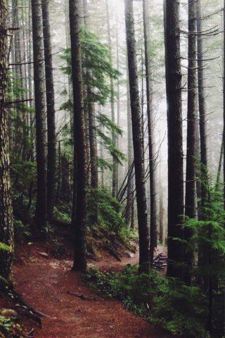 森のパス松の木のモバイル壁紙