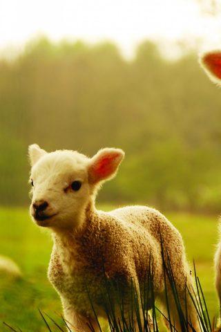 羊のスマホ壁紙