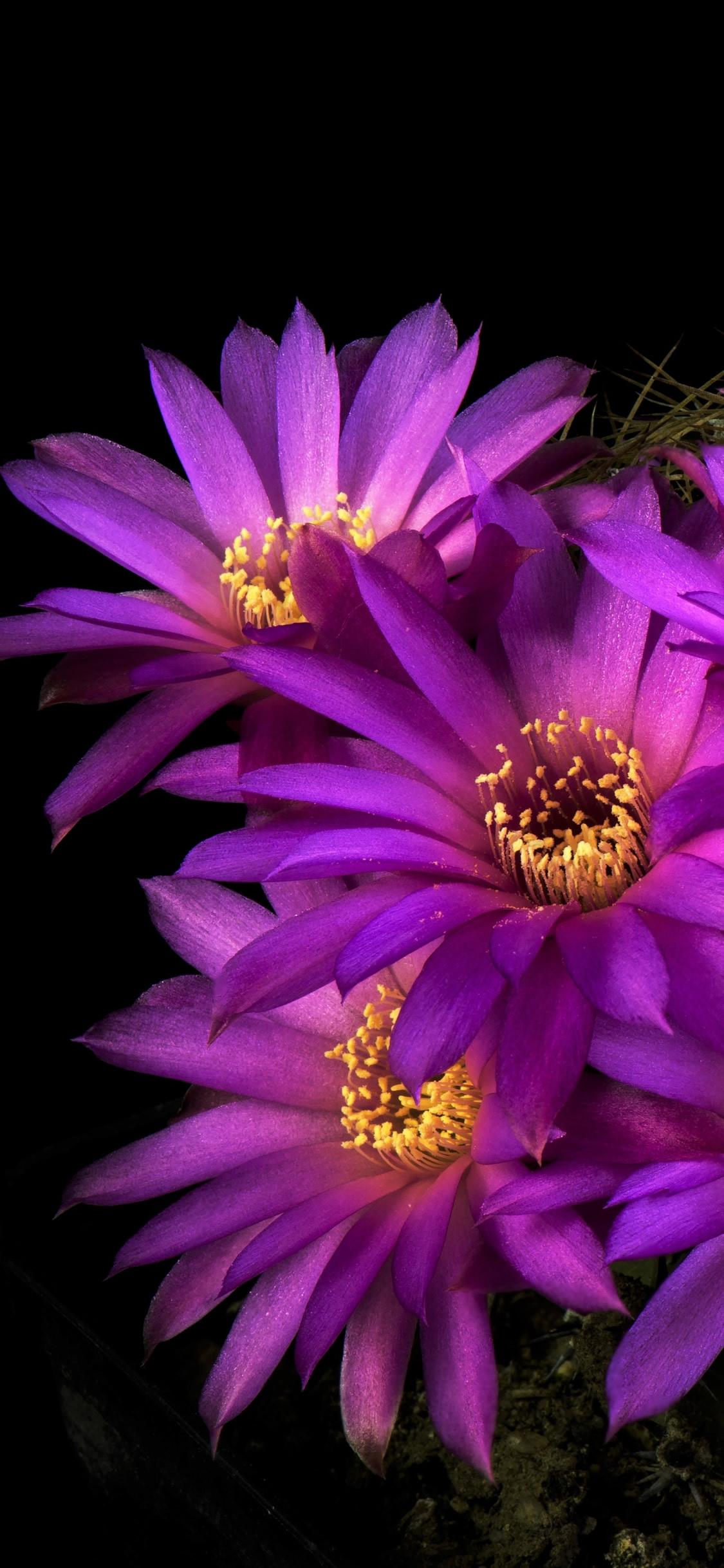 サボテンの花の壁紙